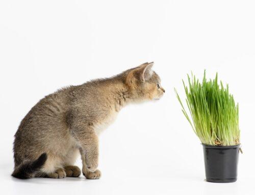¿Qué es el catnip o hierba para gatos?