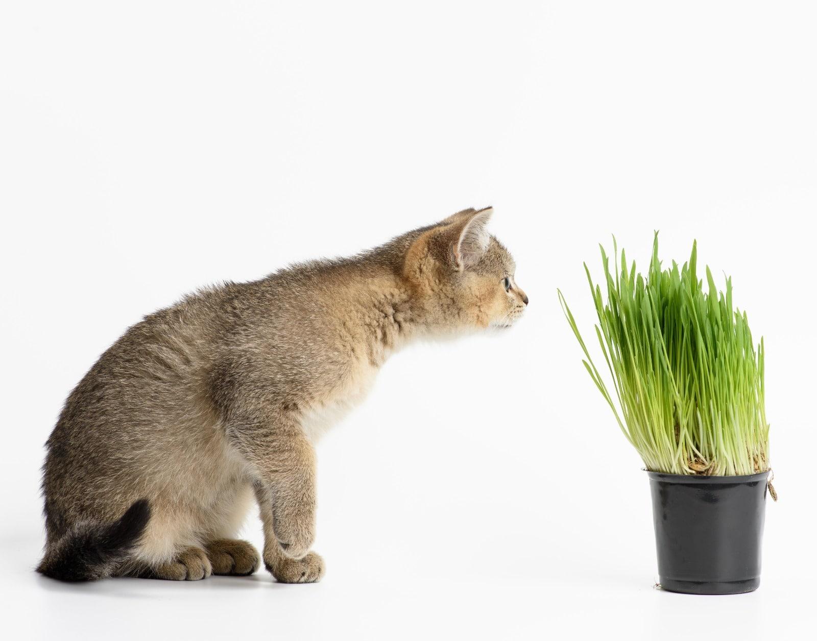 catnip o hierba para gatos